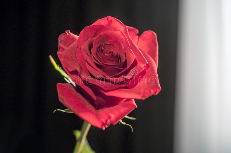 One wet red rose in vase in blurred white background. Selective focus lens effects royalty free stock image