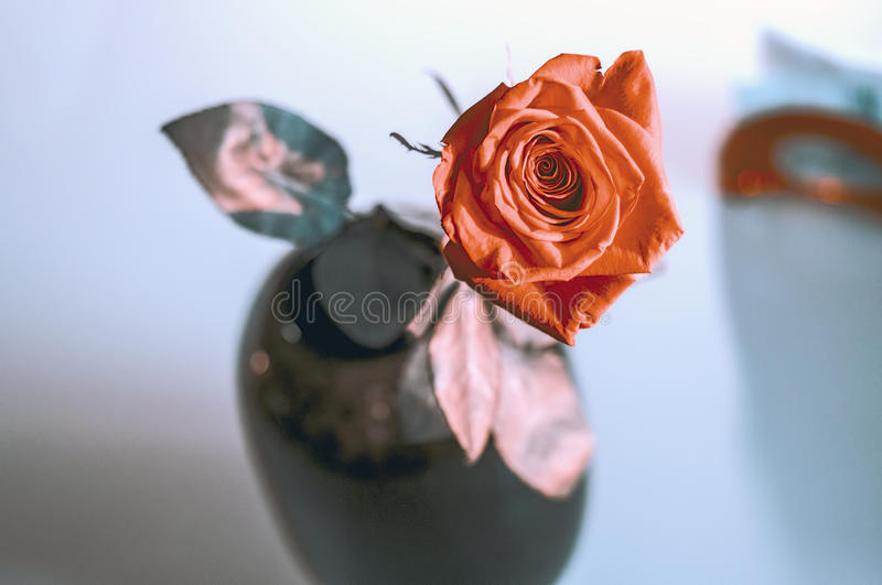 One wet red rose in vase in blurred white background. Selective focus lens effects stock photos