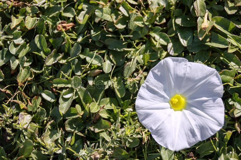 One white bindweed large flower on a background of foliage royalty free stock images
