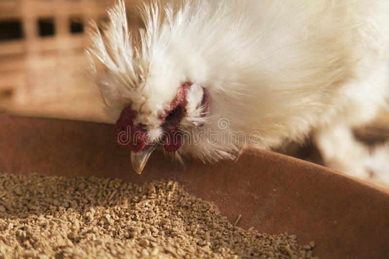 One white chicken eating food on the plate royalty free stock photos