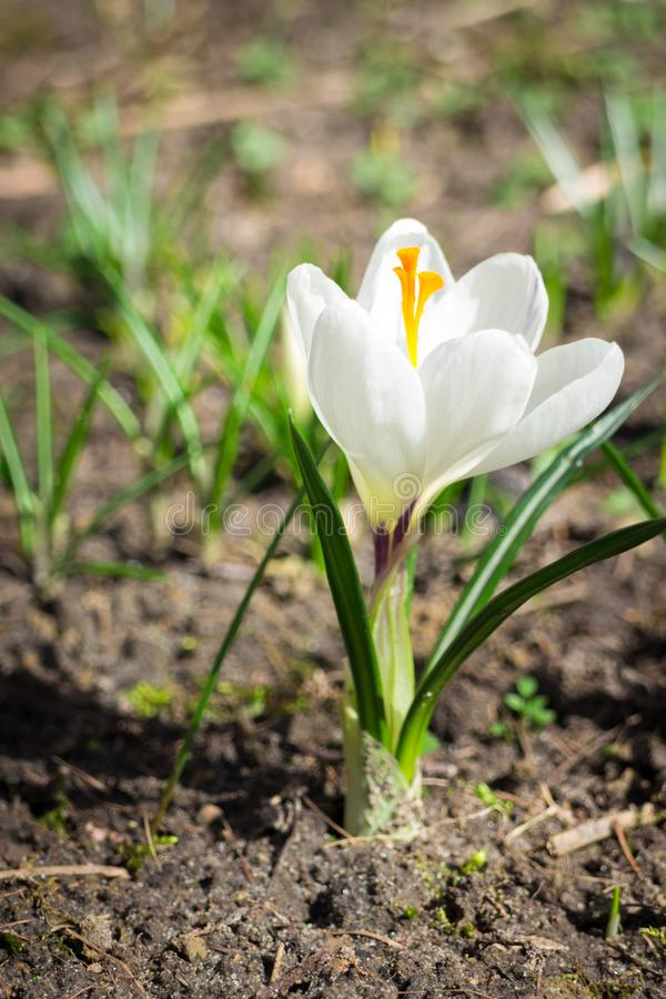 One white crocus saffron in spring. Growing from soil royalty free stock photo