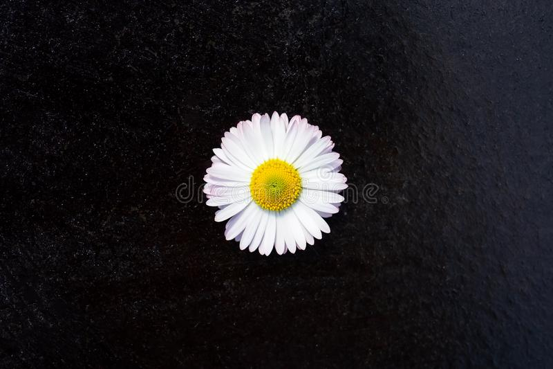 One white daisy flower isolated on black background stock photography