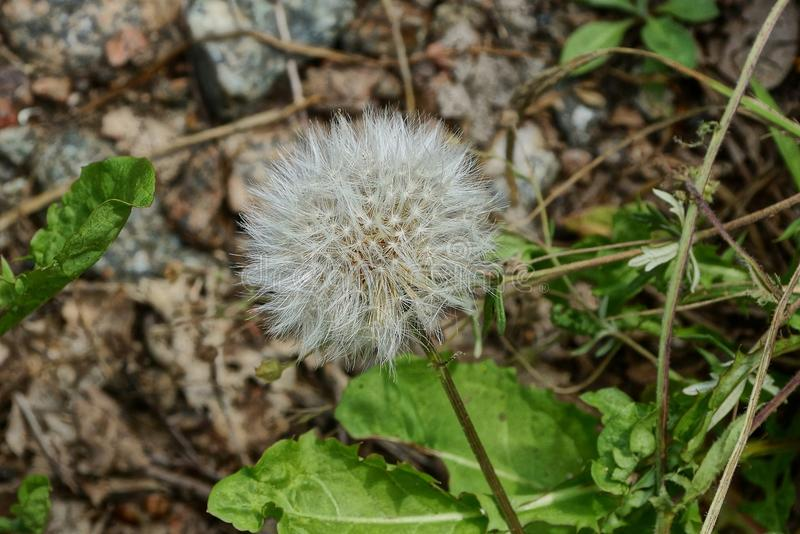 One white dandelion amidst green vegetation in nature royalty free stock photos