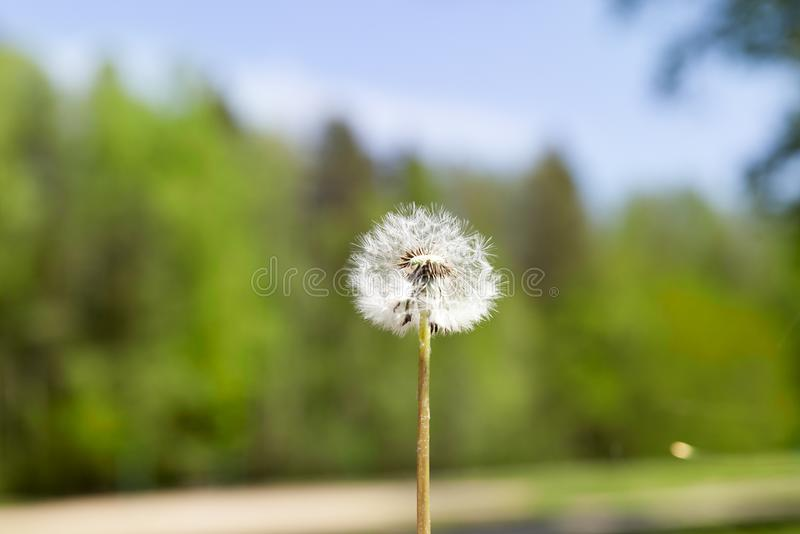 Dandelion flower stock photo image of botanical delicate 101455676 download dandelion flower stock photo image of botanical delicate 101455676 mightylinksfo