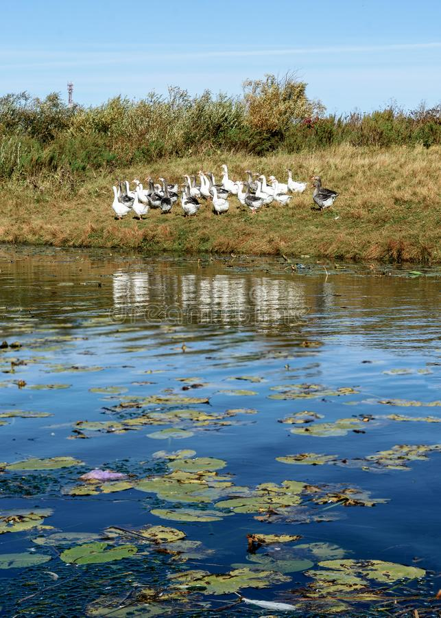 One white feather lies in the water lilies on the river against the background of a flock of white and gray geese. On the river Bank stock photo