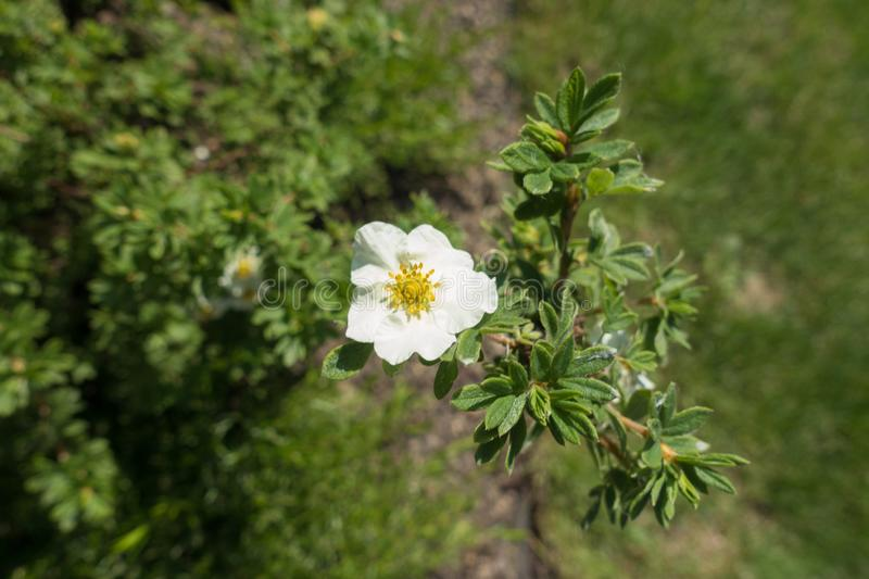 One white five-petaled flower of shrubby cinquefoil. One white five petaled flower of shrubby cinquefoil royalty free stock photography