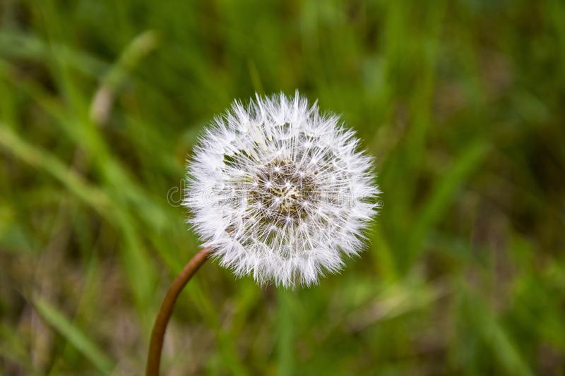 One white fluffy dandelion on blurred background of spring green grass royalty free stock image