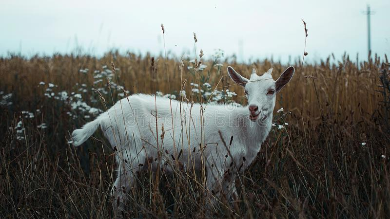 Goat eats grass and stands on the field stock photos