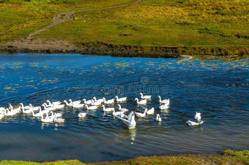 One white goose spreads its wings in a flock of domestic birds floating on a small river royalty free stock image
