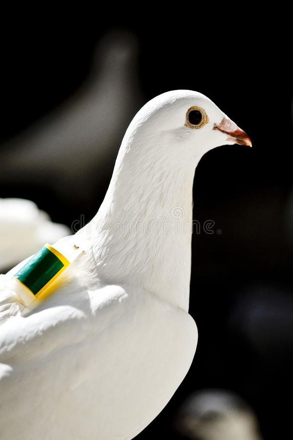 One white homing pigeon royalty free stock photos