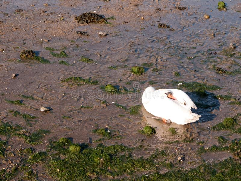 One white mute swan on beach with neck resting on back sunlight. Beautiful; essex; england; uk royalty free stock photography