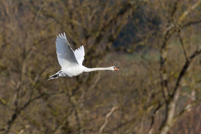 One white mute swan cygnus olor in flight in front of leafless forest. One natural white mute swan cygnus olor in flight in front of leafless forest royalty free stock photography