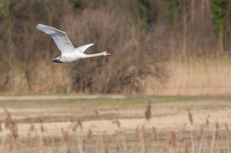 One white mute swan cygnus olor flying over grassland with reed. One natural white mute swan cygnus olor flying over grassland with reed royalty free stock photo
