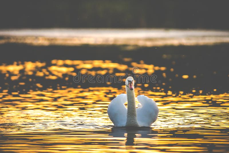 One white mute swan in lake. At sundown stock images