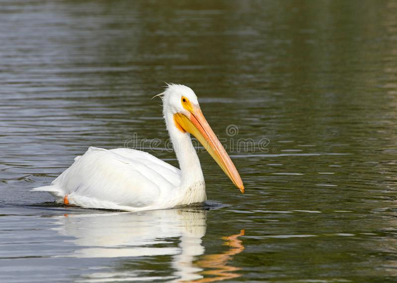 American pelican floating on water profile view royalty free stock photos