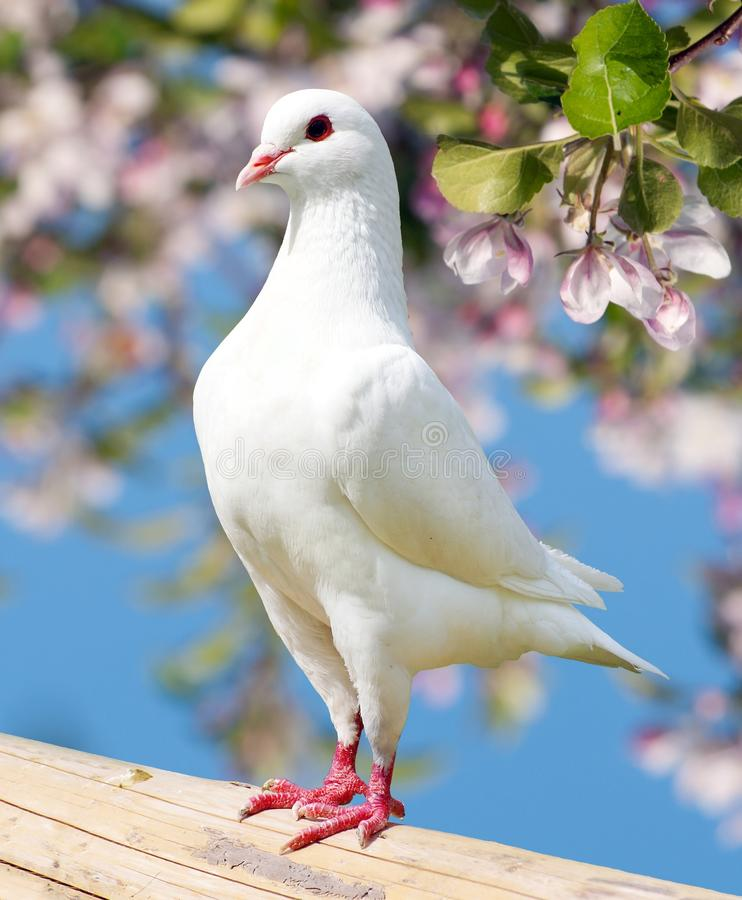 Free One White Pigeon On Flowering Background Royalty Free Stock Photo - 50897895