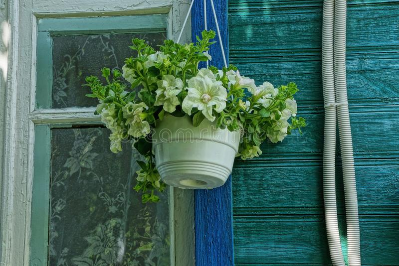 Plastic flowerpot with flowers hanging on the wooden wall of the house by the window. One white plastic flowerpot with flowers hanging on the wooden wall of the stock photography