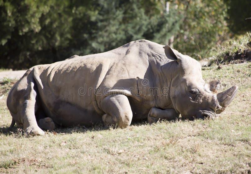 White Rhino Lying Down. One white rhino lying on the ground resting stock photo