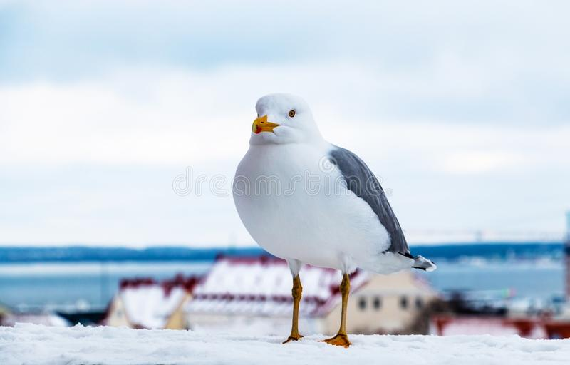One white sea gull portrait. Wild seagull perched against the city landscape royalty free stock photos