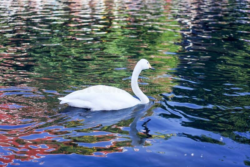 Swan swim in black cannel stock photos