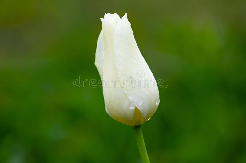One white tulip on a green background stock photography