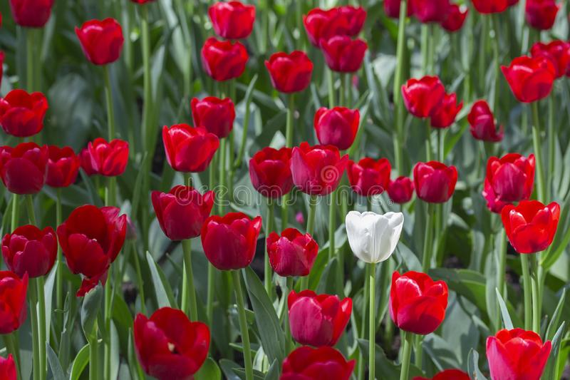 One white tulip in a variety of red tulips. Concept be special, stand out from crowd you will be noticed, be different royalty free stock photo