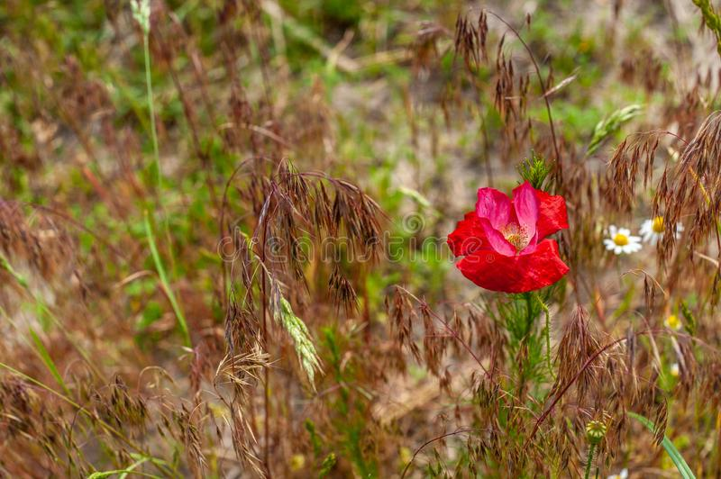 One wild red poppy flower on field of red fescue grass in warm key, top view. Single wild red poppy flower on field of red fescue grass in warm key, top view royalty free stock image