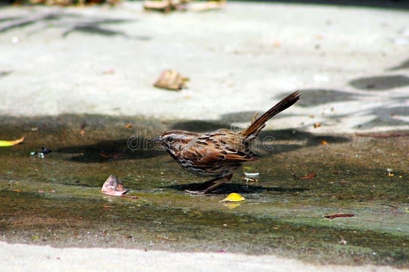 Wild Song Sparrow stock photos