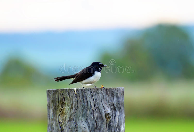 One Willie Wagtail bird sitting on fence post. A detailed portrait of a very cute little Willie Wagtail bird sitting on a large cut off rustic fence post with stock images