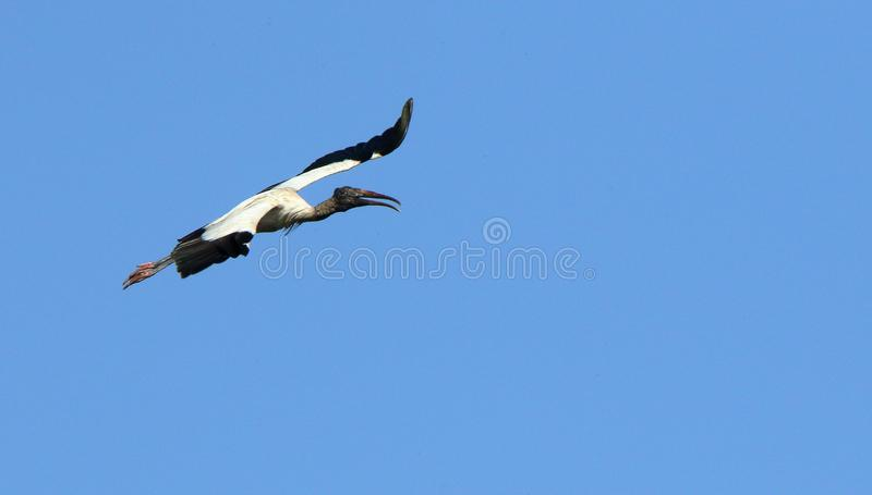 One wood stork flying against a blue sky. One wood stork flying in Georgia stock photography