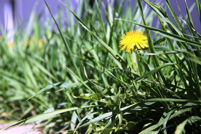 One yellow dandelion, eco-friendly green grass in the midday heat. Spring green grass. One yellow dandelion, eco-friendly green grass in the midday heat royalty free stock images