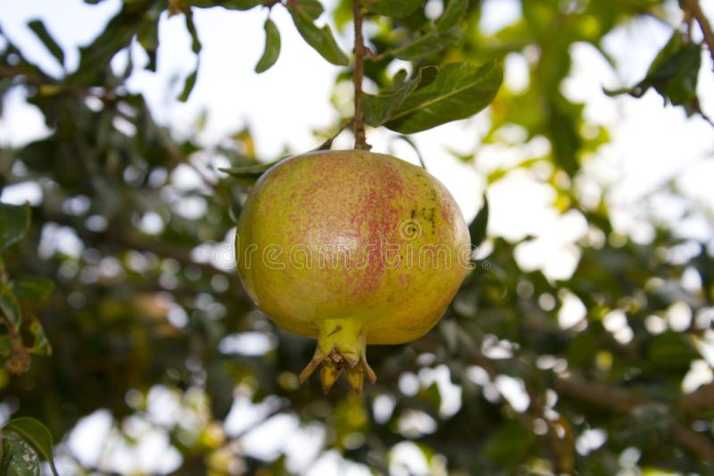 One yellow garnet hanging on a branch with green foliage. Ripe pomegranate grows on a tree. Close up stock images