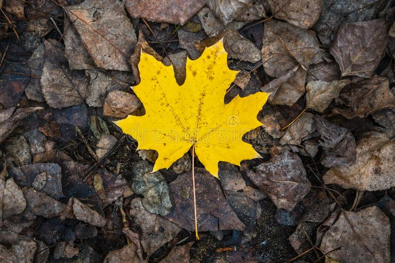 One yellow maple leaf lies on other rotten leaves royalty free stock images
