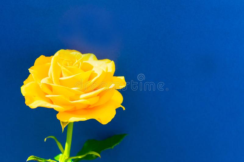 yellow rose isolated on blue background. Copy space. One yellow rose isolated on blue background. Copy space royalty free stock photo