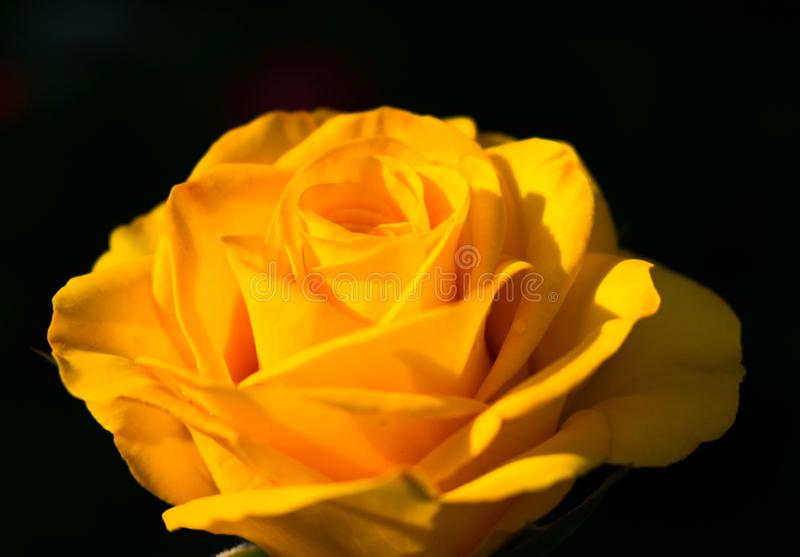 Yellow rose on a black background. Copy space. One yellow rose on a black background. Copy space royalty free stock photos