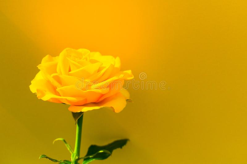 One yellow rose on a blue background. Copy space. Postcard. stock image