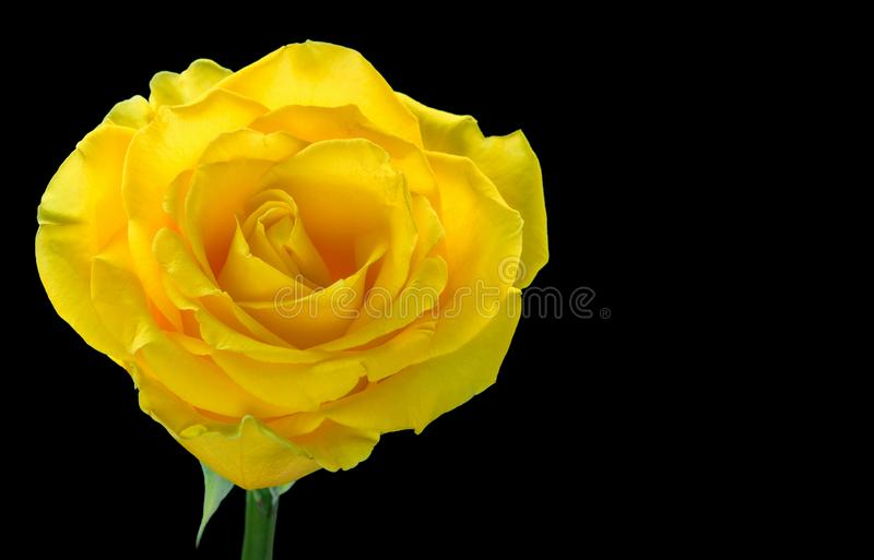 One yellow rose stock photography