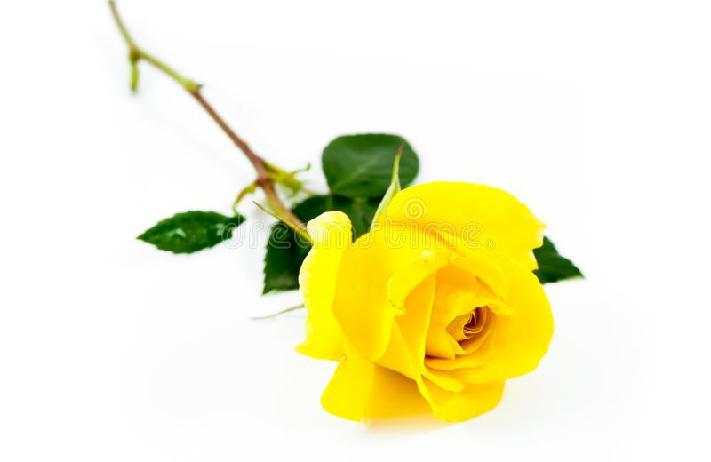 One Yellow rose isolated on white background royalty free stock photo