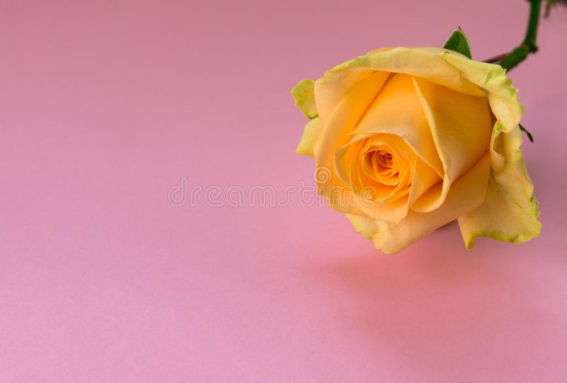 One yellow rose stock image