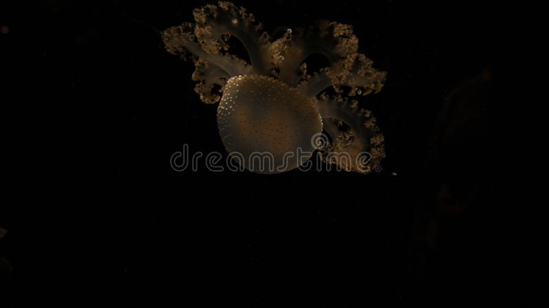 One only yellow transparent jellyfish in the dark black codl deep water of the sea . In an Aqurium stock photography