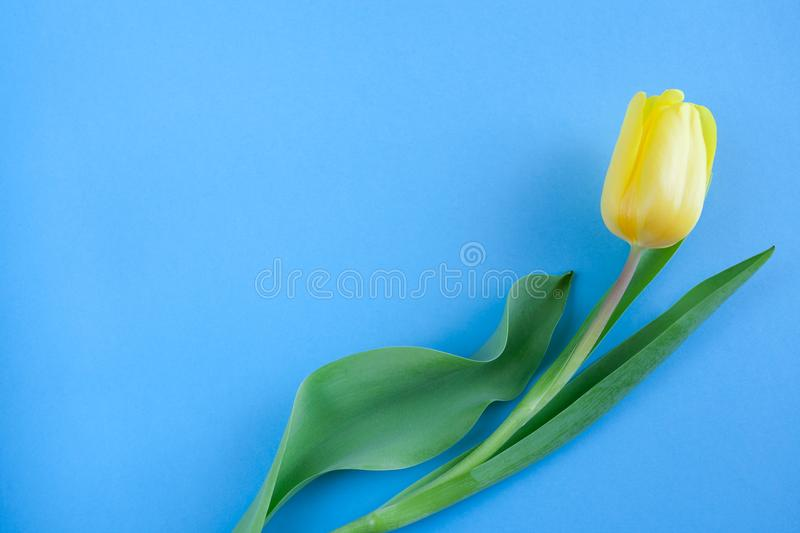 One yellow tulip on blue background with copy space. stock photography