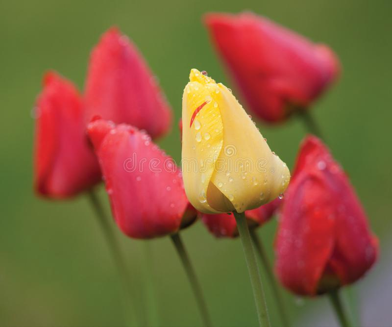 One yellow tulip among several red ones stock image