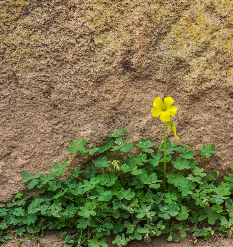 One yellow wood sorrel on the ground in front of the rock wall royalty free stock photo