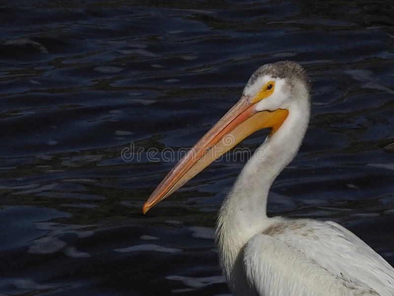 One young American white pelican resting. royalty free stock photos