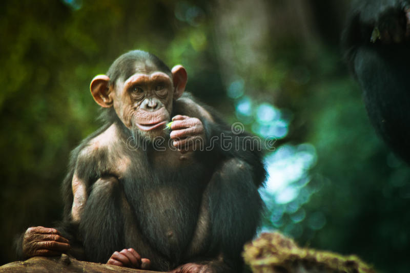 One young chimpanzee. Seated and eating royalty free stock images