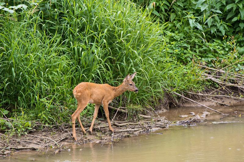 Young deer stands by the river stock images