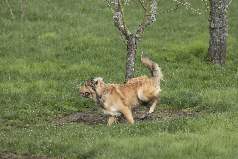 One Young Golden Dog Sprinting. A golden shepherd husky mix pup runs through a lush green lawn. The dog has a snub nose, floppy ears, and a bushy tail. This royalty free stock photography