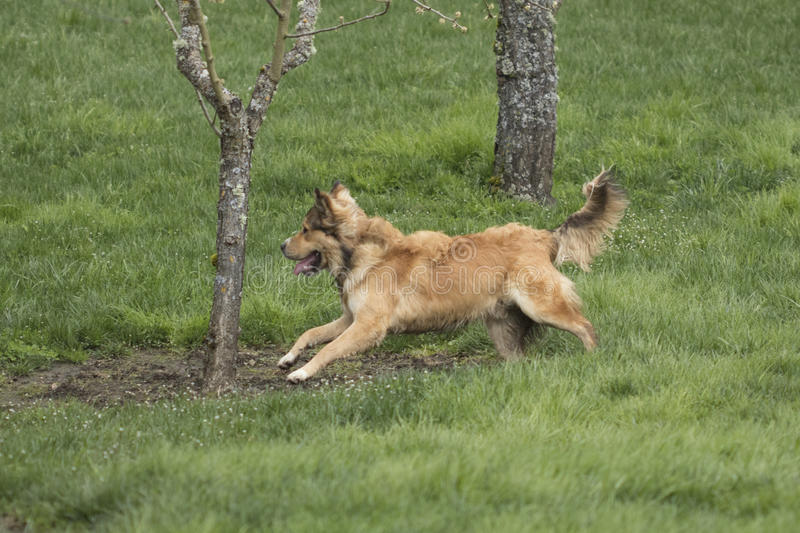 One Young Golden Dog Sprinting. A golden shepherd husky mix pup runs through a lush green lawn. The dog has a snub nose, floppy ears, and a bushy tail. This stock photos