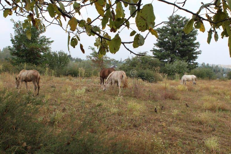 Ongebreidelde Paarden die in wildernis weiden! stock afbeeldingen