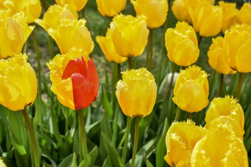 Ongebruikelijke Halve Rode en half Gele Tulip Mutation Uniek alleen status stock fotografie